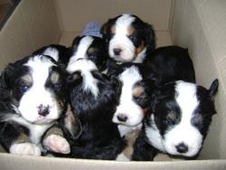 Nos Bebes, chien Bouvier bernois