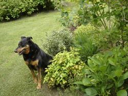 Leya, chien Beauceron