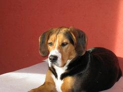 Mambo, chien Beagle