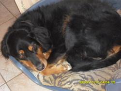 Tango, chien Bouvier bernois