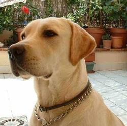 Cloud, chien Labrador Retriever