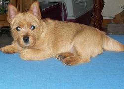 Etoile, chien Norfolk Terrier et Norwich Terrier