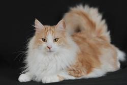 Milla, chat Angora turc