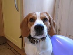 Dagoba, chien Beagle