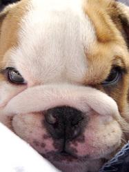 Walter, chien Bulldog