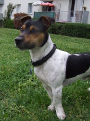 Fly, chien Jack Russell Terrier
