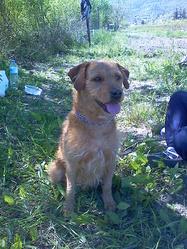 Ulysse, chien Basset fauve de Bretagne