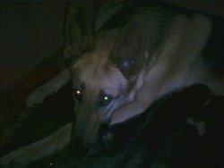Lassie, chien Berger allemand