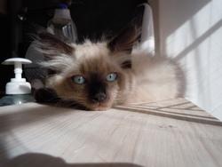 Globule, chat Siamois