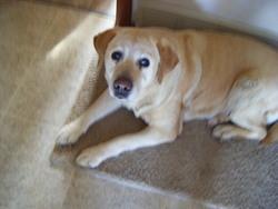 Tavie, chien Labrador Retriever