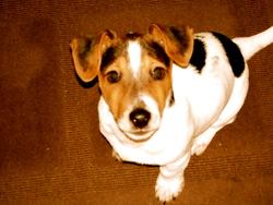 Elvis, chien Jack Russell Terrier