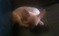 Maylis, chien Chihuahua