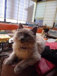 Flocon, chat Birman