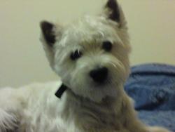 Oscar, chien West Highland White Terrier