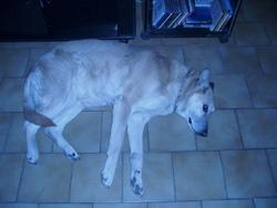 Lea, chien Berger belge