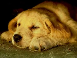 Rox, chien Golden Retriever