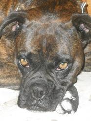 Hera, chien Boxer