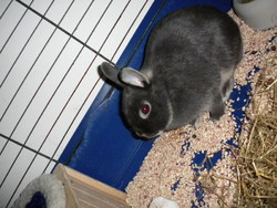 Grisette, rongeur Lapin