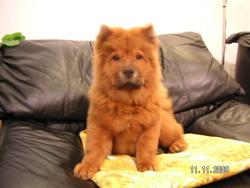 Winnie, chien Chow-Chow
