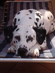 Calie, chien Dalmatien