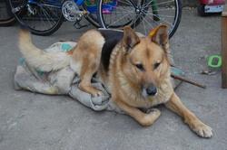 Banbi, chien Berger allemand