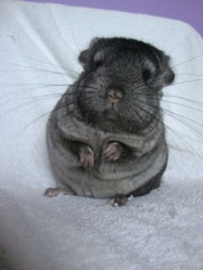 Sookie, rongeur Chinchilla