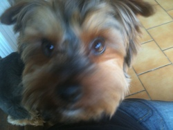 Boss, chien Yorkshire Terrier