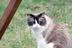 Sausalito's Sevruga, chat Ragdoll