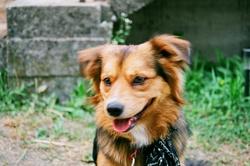 London, chien Berger des Shetland