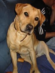 Nana, chien Labrador Retriever