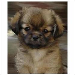 Sony, chien Épagneul tibétain