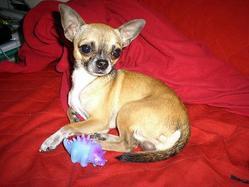 Dino, chien Chihuahua