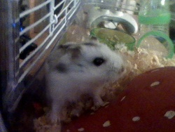 Doudoune , rongeur Hamster