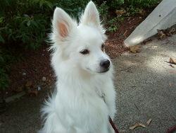 Dina, chien Spitz allemand
