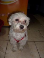 Kenza, chien Bichon maltais