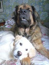 Angie, chien Leonberger