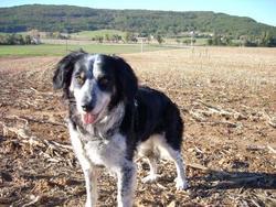 Samka, chien Border Collie