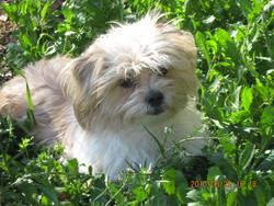 Cachou, chien Lhassa Apso
