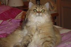 Babylone, chat Persan