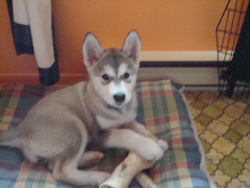 Séphia, chien Malamute de l'Alaska