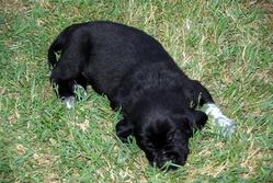 Fils, chien Labrador Retriever