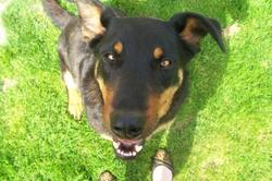 Amour, chien Beauceron