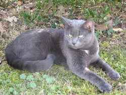 Kama, chat Bleu russe
