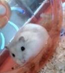 Perle, rongeur Hamster