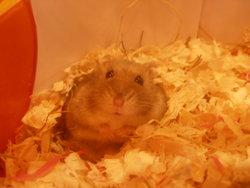 Grominet, rongeur Hamster