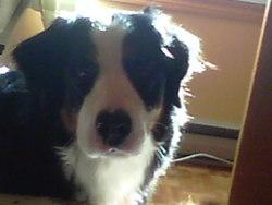 Caddie, chien Bouvier bernois