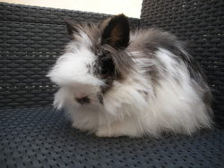Pepette, rongeur Lapin