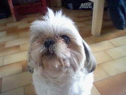 Tyny, chien Shih Tzu
