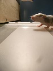 Bébés, rongeur Rat