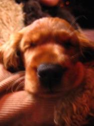 Helmut, chien Cocker anglais
